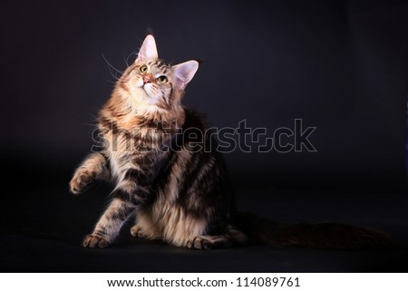 Brown Tabby Maine Coon in studio on black background