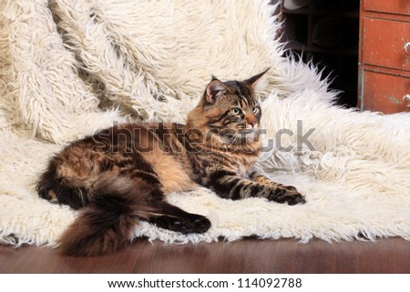 Brown Tabby Maine Coon on the white fur rug