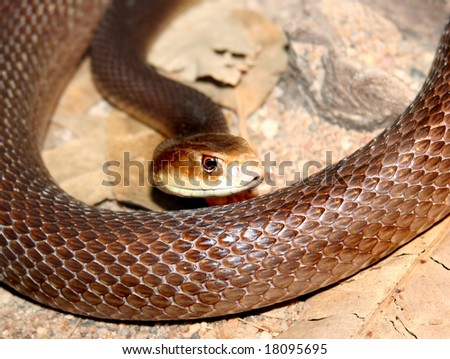 brown taipan
