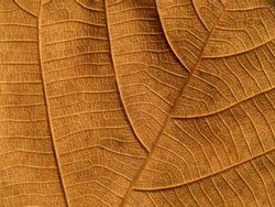 brown teak leaves texture, autumn background