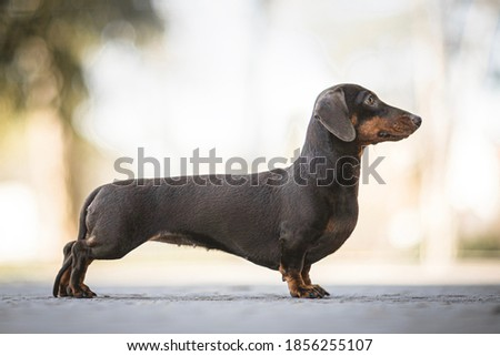 Brown The Rabbit Dachshund Smooth-haired portrait Сток-фото ©