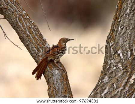 Brown Thrasher on tree trunk
