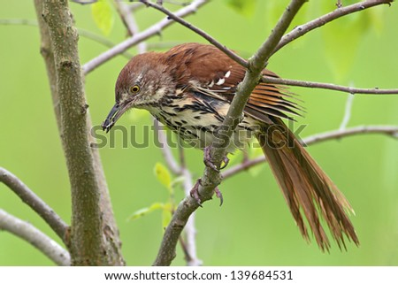 Brown Thrasher perched in a tree with a caterpillar in it's beak.