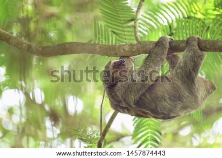 Brown-throated Sloth (Bradypus variegatus) -  Crossing the Canopy