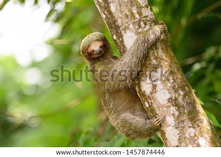Brown-throated Sloth (Bradypus variegatus) - Don't Look Down