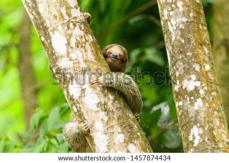 Brown-throated Sloth (Bradypus variegatus) - Hey Dude