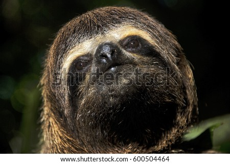 Brown-throated sloth (Bradypus variegatus), photographed in Sooretama, Espírito Santo - Southeast of Brazil. Atlantic Forest Biome. #600504464