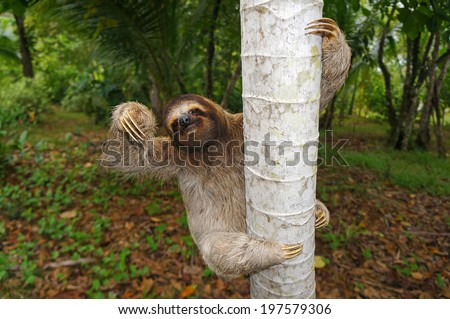 Brown-throated sloth climbs on a tree, Panama, Central America #197579306