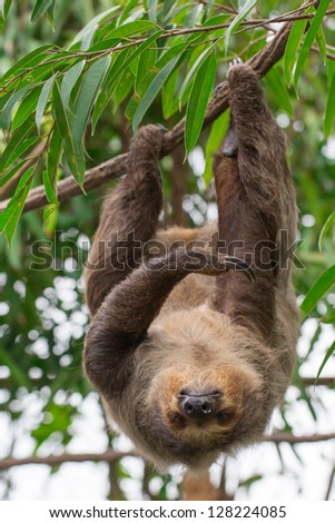 Brown-throated Three-toed Sloth, Bradypus #128224085