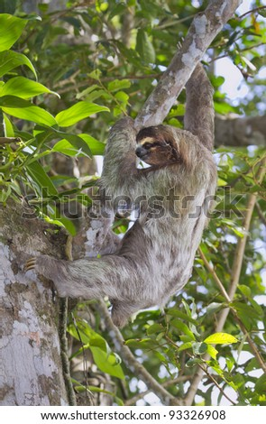 Brown-throated three-toed sloth (Bradypus variegatus) climbing a tree (Cahuita National Refuge, Costa Rica).