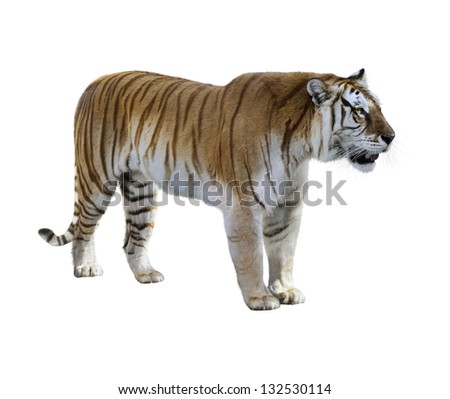 Brown Tiger On White Background