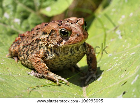 Brown toad / frog on a green leaf