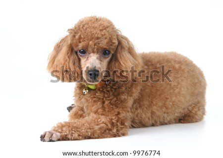Brown toy poodle in classic poodle cut groomed professionally