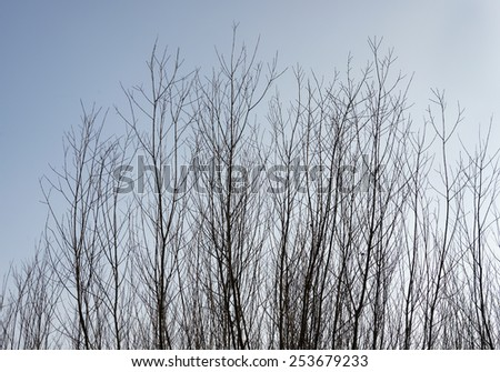 brown tree branches of willow with blue sky as wallpaper background