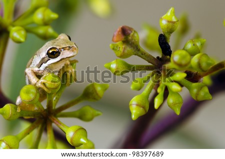 Brown Tree Frog, Litoria ewingi in eucalyptus tree. A common and widespread species in Tasmania, Australia, the frog is an agile climber, aided by climbing discs on its fingers and toes.