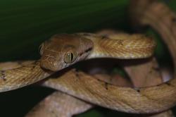 Brown Tree Snake portrait, Boiga irregularis, Lembeh Island, North Sulawesi, Indonesia, Pacific Ocean