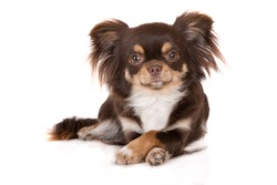 brown tricolor chihuahua dog lying down with crossed paws on white