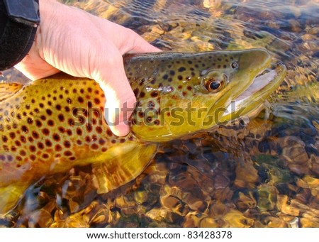 Brown Trout caught fly fishing on the White River of Arkansas, USA