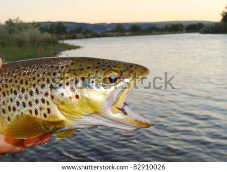 Brown Trout - Fly fishing the Bighorn River of Montana - stock photo