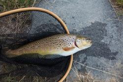 Brown trout, Salmo trutta fario
