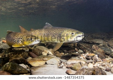 Photo of  Brown trout (Salmo trutta) preparing for spawning in small creek. Beautiful salmonid fish in close up photo. Underwater photography in wild nature. River habitat.