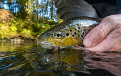 Brown Trout with dry fly in mouth being released into the river