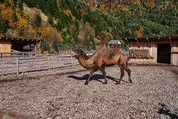 brown two-humped camel stands on the stones in the zoo against the background of mountains with green-yellow trees