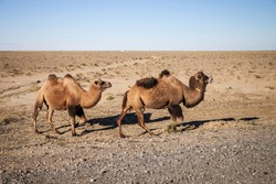 brown two humped camels graze in the steppe