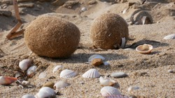 brown vegetal sea bal (or egagropili) l formed by posidonia and action of the waves, found on a sandy beach