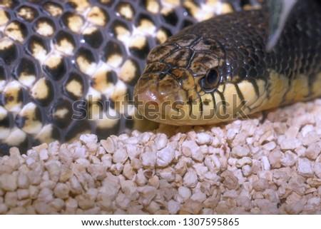 Brown venomous snake snout (opistoglifo - leioheterodon madagascariensis) called porcello snout