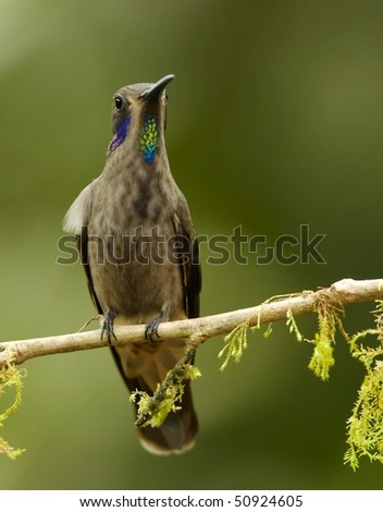 Brown Violet-ear Hummingbird (Colibri serrirostris)