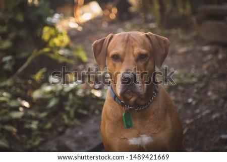 Brown vizsla dog breed exploring outdoors #1489421669