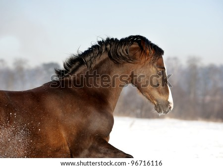 brown welsh pony in winter