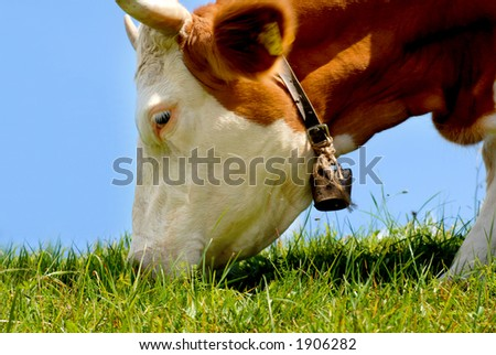 stock photo : Brown / white cow eating grass