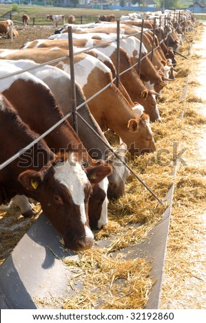 brown-white cows eating hay on feeding trough