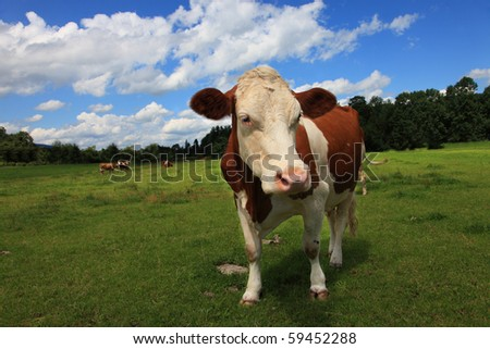 Brown white freckled cow is grazing on a pasture meadow. It is in Bavaria. They bring the kine out in the morning to graze on the range land.