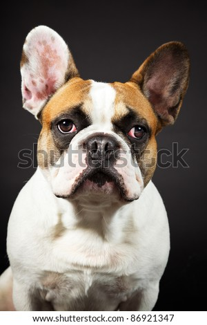 Brown white french bulldog isolated on black background