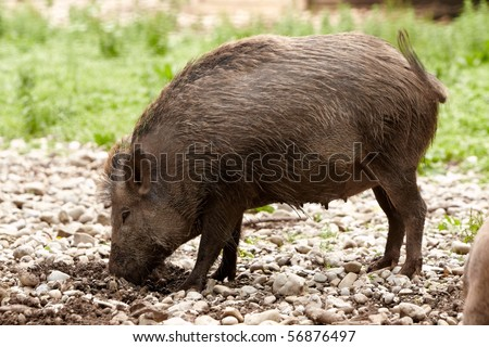 brown wild hog digging in the ground