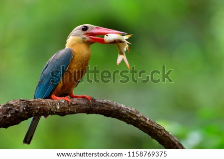 Brown with blue wings and red beaks bird perching on wood branch carrying big fish in his mouth, Stork-billed kingfisher (Pelargopsis capensis)