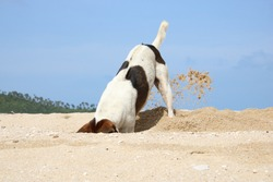 Brown with white stray dog digging a hole on a beach in Thailand