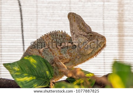 Brown, yellow and green chameleon in a terrarium #1077887825