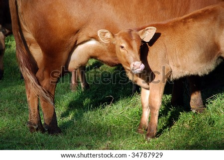 Brown young calf drinks milk from his mother