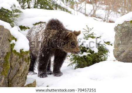 Brownbear walking through the snow...