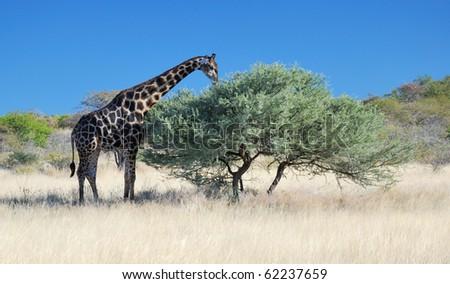 Browsing Giraffe