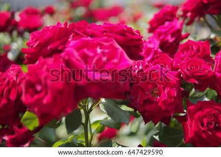 Brunch of Roses #647429590