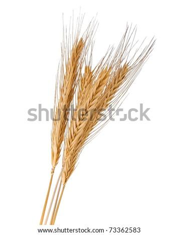 Brunch of the golden wheat
