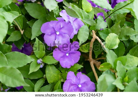 Brunfelsia pauciflora or calycina, Jasmine of Paraguay, is a phanerogamic species native to the Paraguayan forest Known as the National Flower of Paraguay Foto d'archivio ©