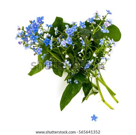 Brunner macrophylla for garden design. Studio Photo