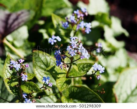 Brunnera macrophylla 'Jack Frost' - Siberian Bugloss