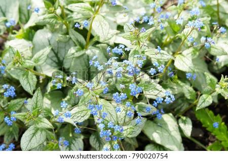 Brunnera macrophylla or siberian bugloss or great forget-me-not or largeleaf brunnera or heartleaf jack frost green plant with blue little flowers
